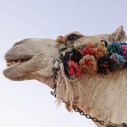 Timbres      du thème Camels   '
