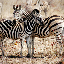 Timbres      du thème Zebra   '